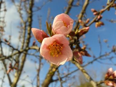 Almond flower opening