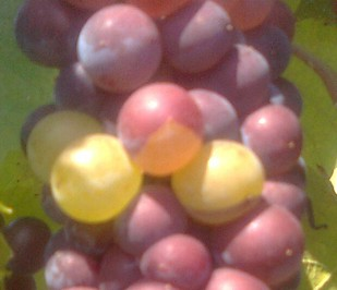 Incomplete color change in Pino Gris berries.