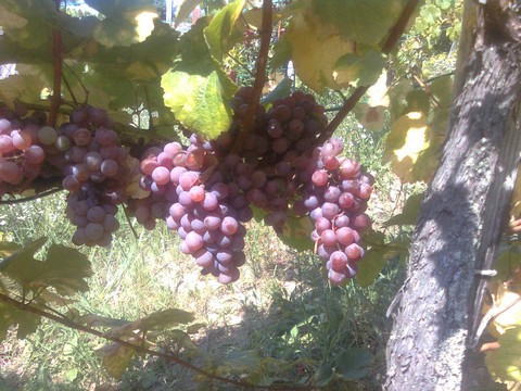 Piros Tramini clusters nearing harvest.