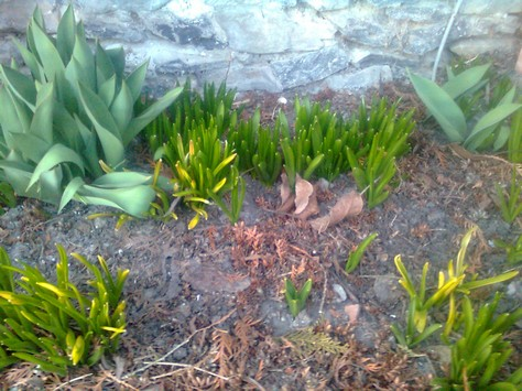 Bulbs starting to grow in late Winter.