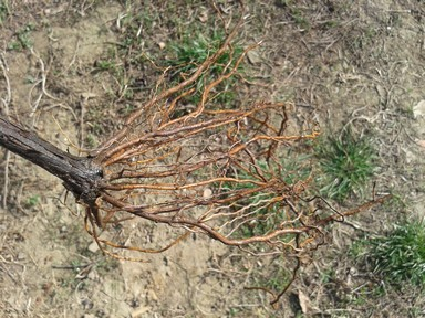 Trimmed vine roots