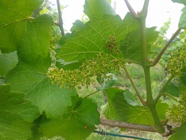 Wine vine in bloom.