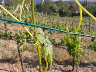 Wine vine attaching itself to the trellis wire for self support.