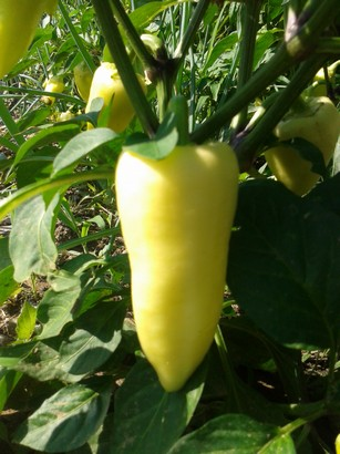 Pepper (a stable of Hungarian cuisine)