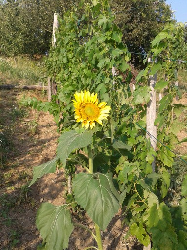 Sunflower volunteers in the vineyard are allowed to grow.