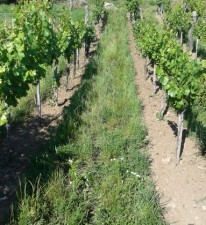 Tilled rows with aisles allowed to remain in vegetation.