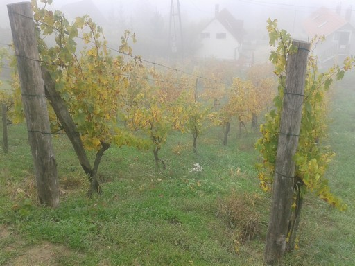 October wine vines in fog.