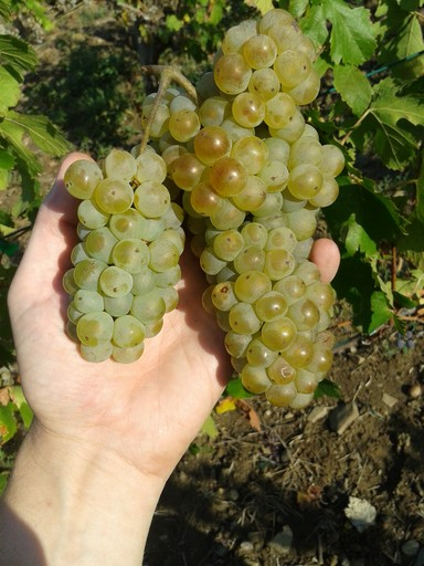 Italian Riesling grape bunch, Fall 2012.
