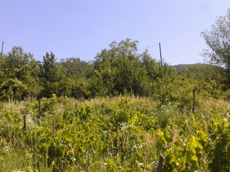 Vineyard at time of purchase. More weeds than vines.