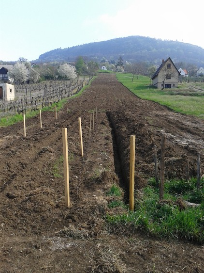 New vineyard.