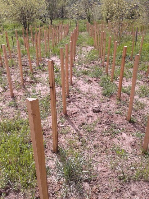 New wine vines staked and planted.