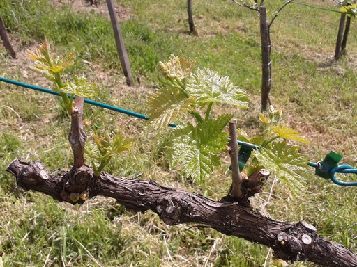 Spring wine growth.
