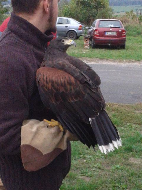 Harris Hawk back view