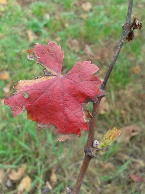 New leaf growth with fall leaf