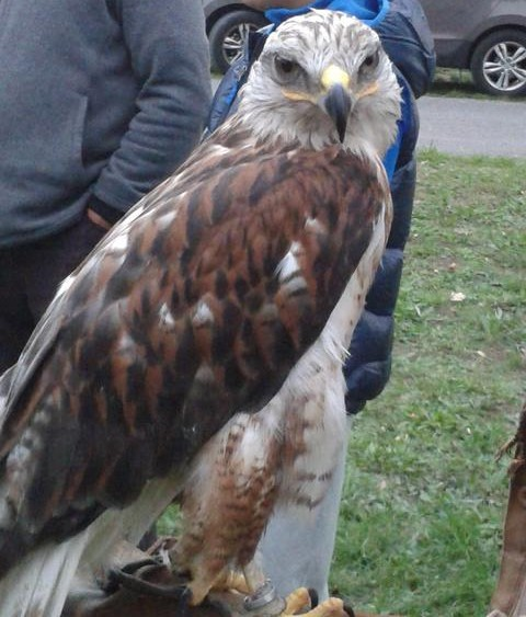 One of the birds of prey seen during the falconry demonstration and education.