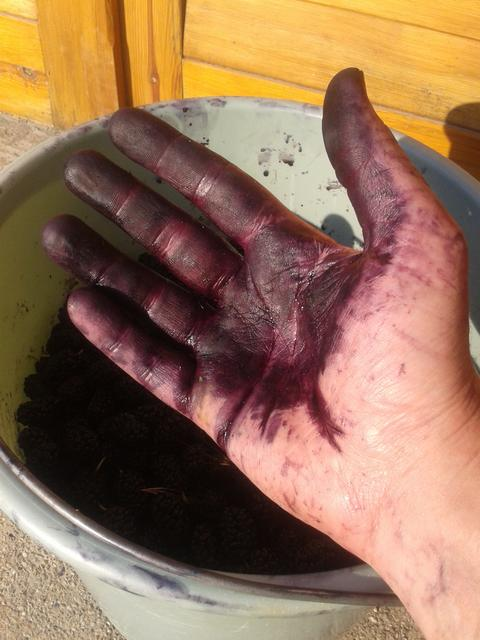 I was picking mulberries.No, really. Honest!
