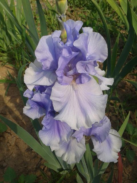 One Iris type among hundreds we are raising.