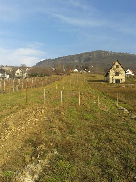 After fall wine vine planting.