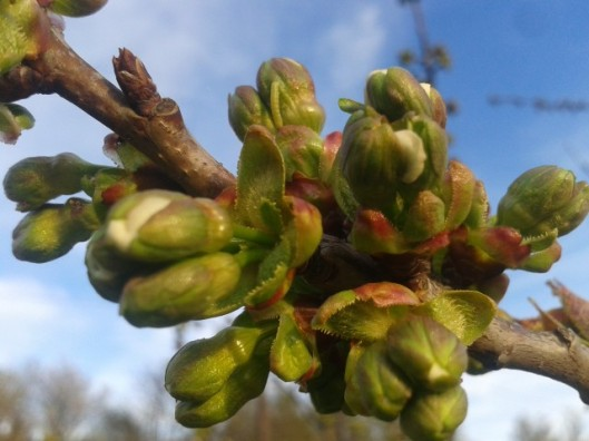 Cherry tree buds about to open.