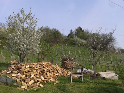 Three fruit trees blooming at once. Cherry on left. Apple in center in front of the stacked wood pile. Plum on the right.