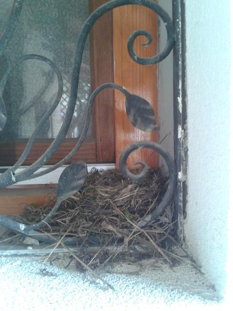 A flycatcher has built a nest in our window.