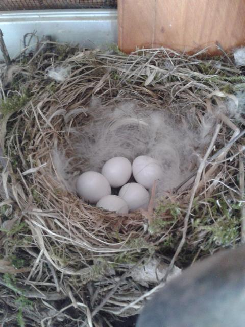 Eggs in the nest.