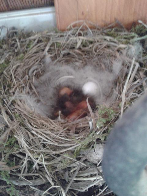 "Today some of the eggs had be ""replaced"" by little bundles of feather fluff."
