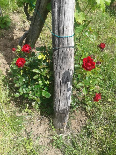 Vineyard end post rose bush.