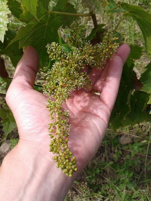 Turán (Agria) grapes in bloom.