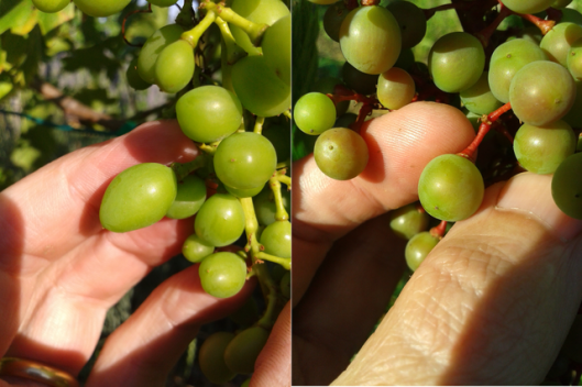Two grape varieties, clearly different. Can you see the differences?