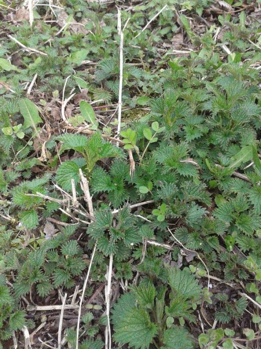 New spring patch of stinging nettle.