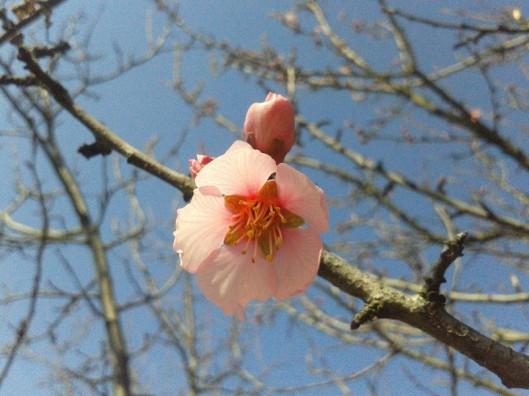 Almond blossom.