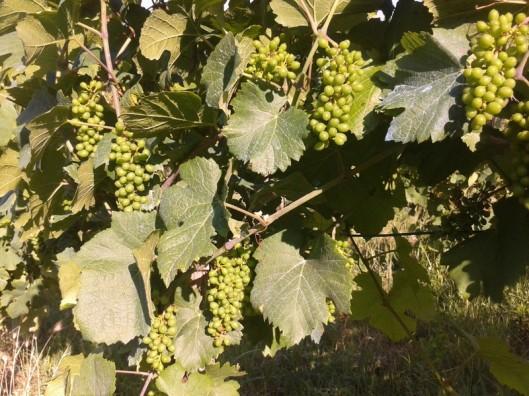 Pinot Gris (Szürkebarát)  in June.