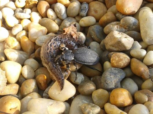 Probably a predatory tenebrionid beetle (species unknown) preying on a slug.