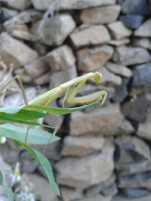 The European praying mantis (Mantis religiosa) in its classic pose that provides its name. They will feed on anything small enough to capture.