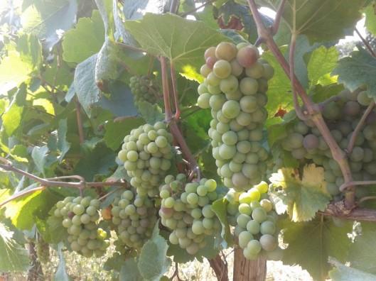 Pinot Gris Veraison