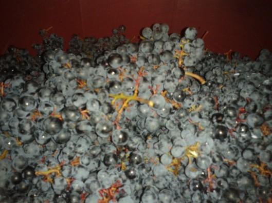 Turán grapes filling the collection vat.