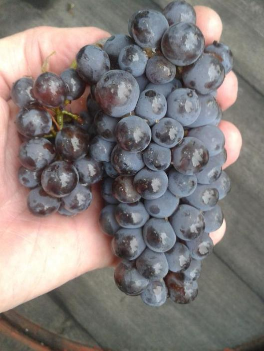 Pinot gris grape cluster at harvest.