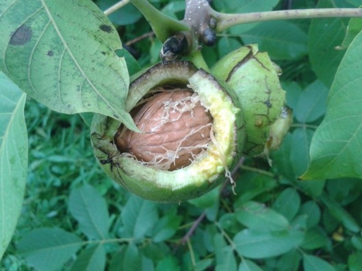 Walnut fruit with seed.