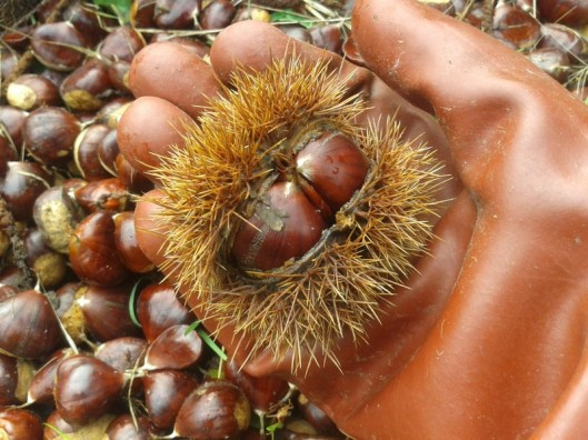 Chestnut cupule are very prickly. Best handled with gloves.