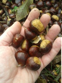 Chestnuts out of their hull.