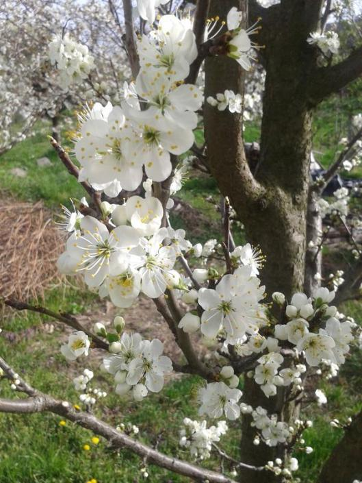 Plumb blossoms.