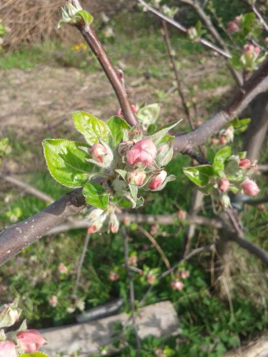 Apple flower buds.