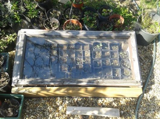 Old window cold frame.