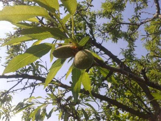 A small 2016 almond crop.