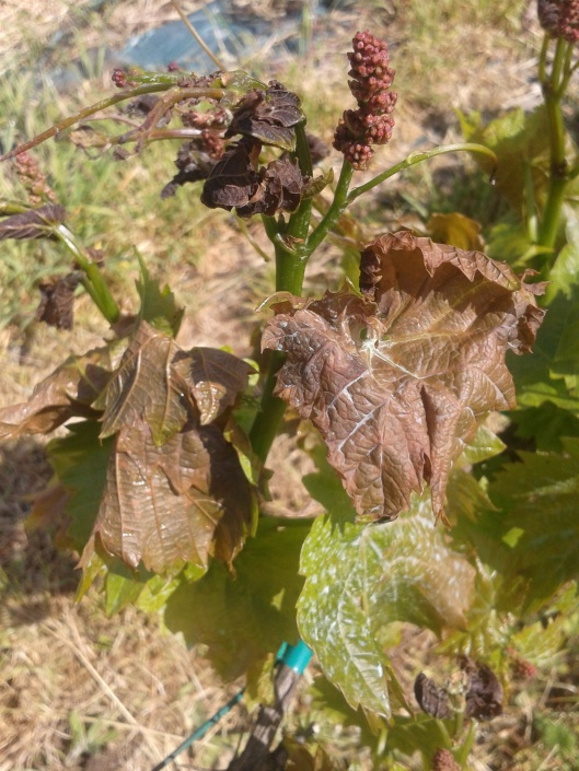 Frost damaged to grape vine.