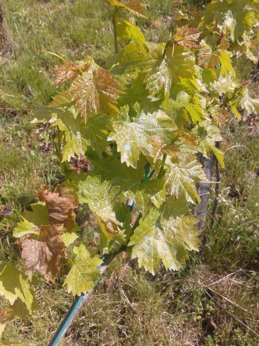 Some frost damaged to grape vine.