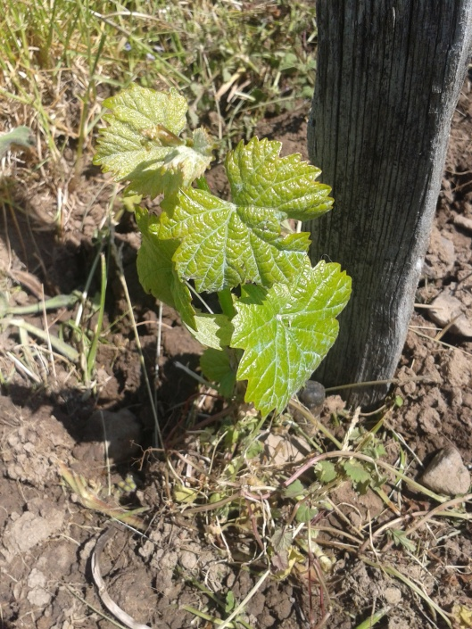 No frost damaged to young grape vine.