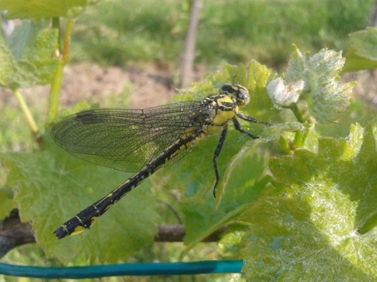 St. George's dragon fly.