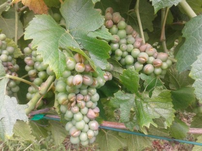 Hail damage on Pinot gris.